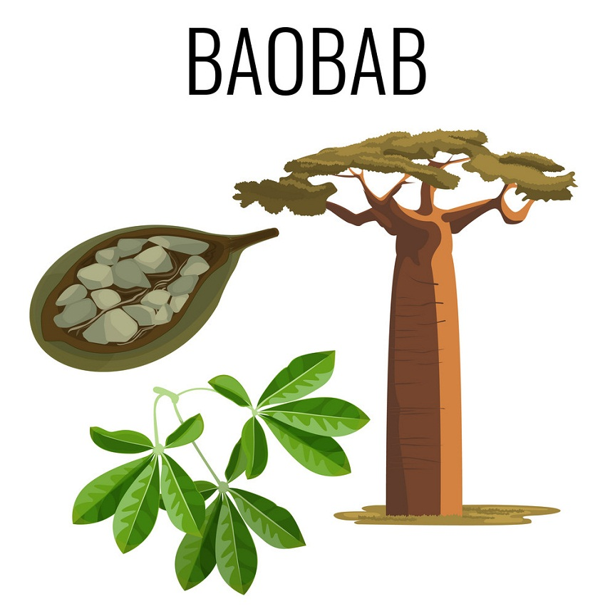 african baobab and fruit with seeds
