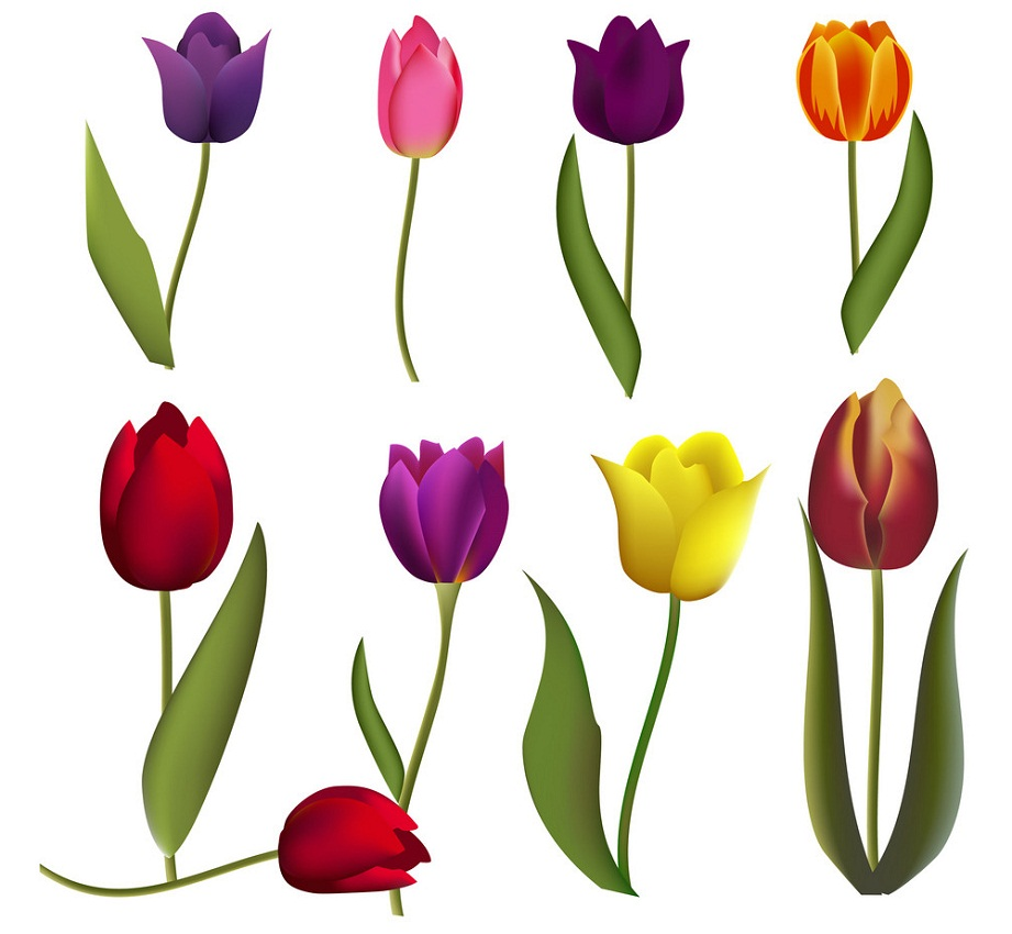 dark color tulips