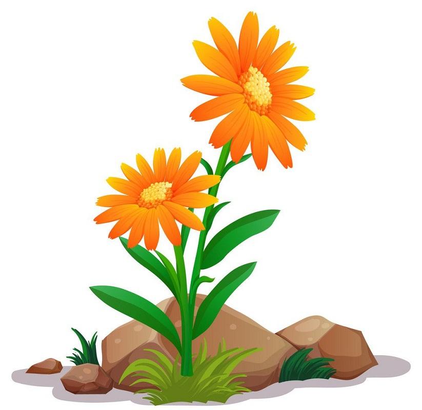 orange gerbera daisies