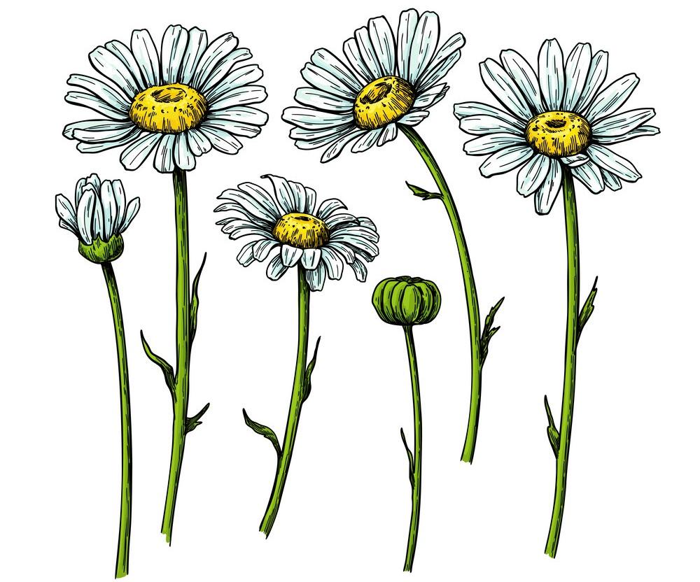 realistic white daisies
