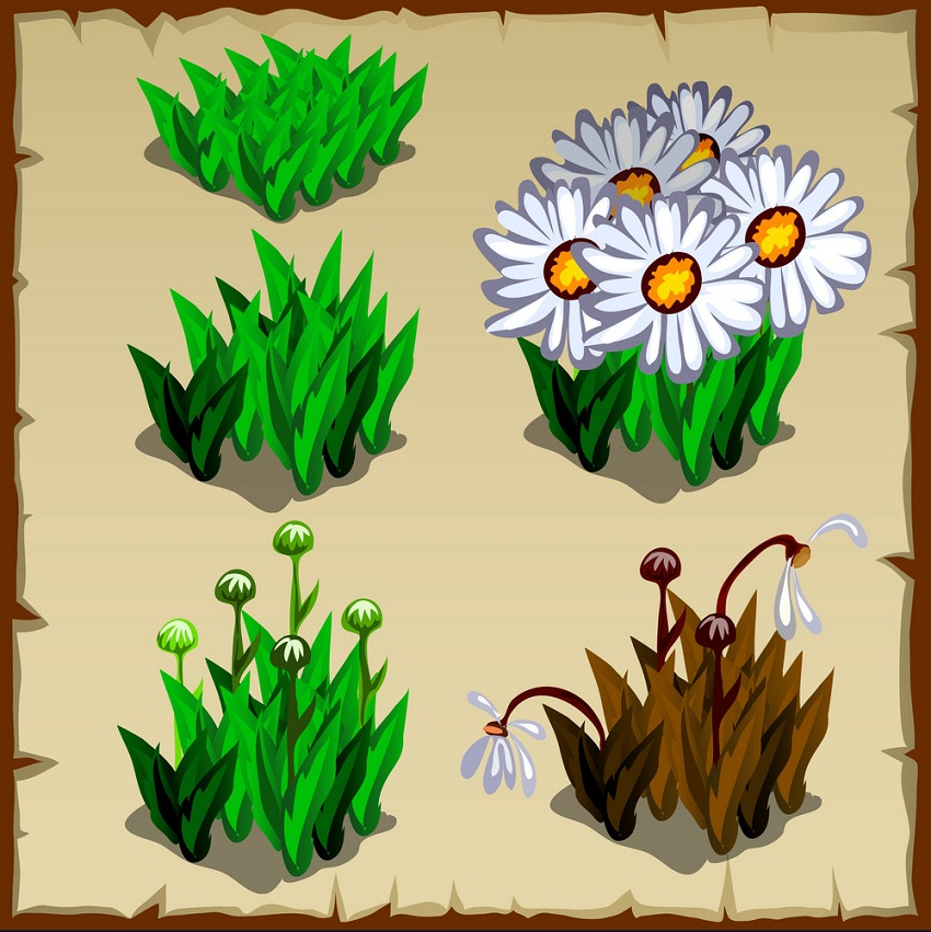 stages of growth daisies planting and withering