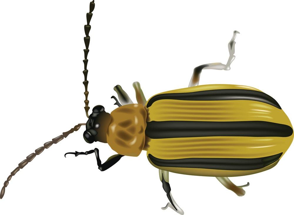 black yellow beetle