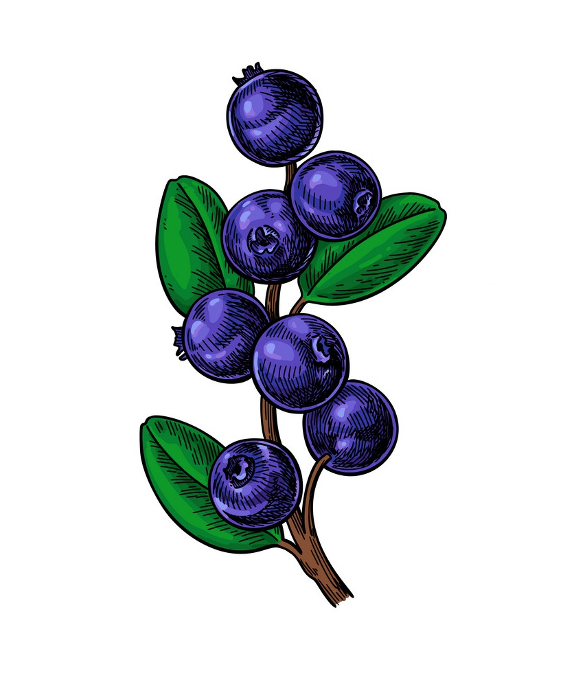 blueberry branch 1