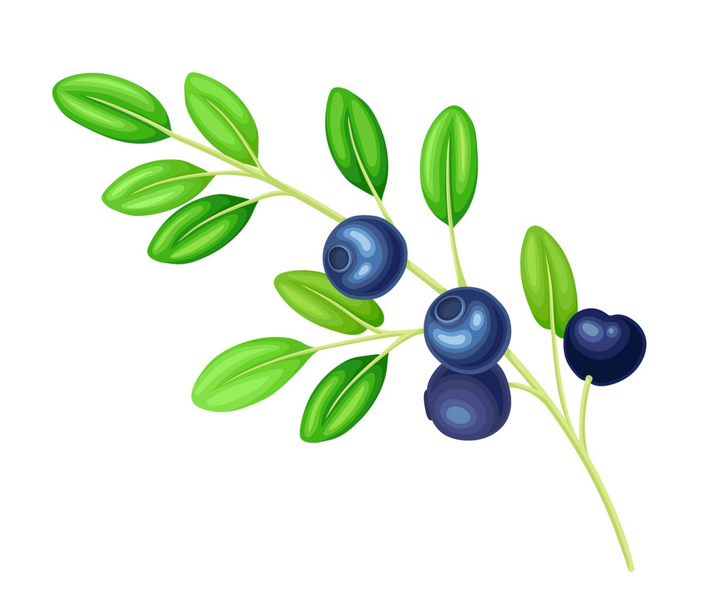 blueberry branch with leaves