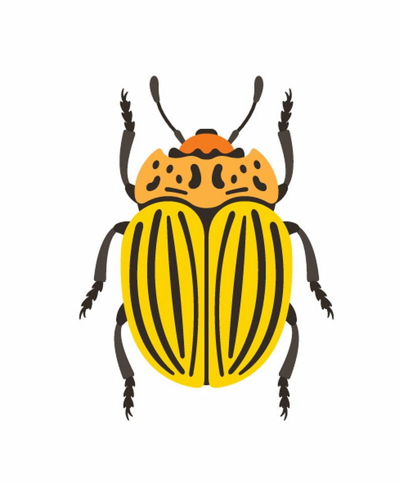 colorado beetle 1