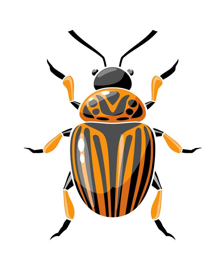 colorado beetle 2