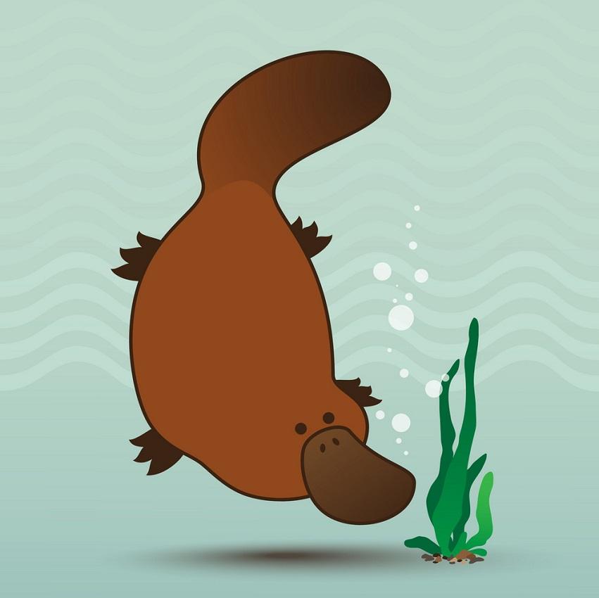 cute platypus swimming