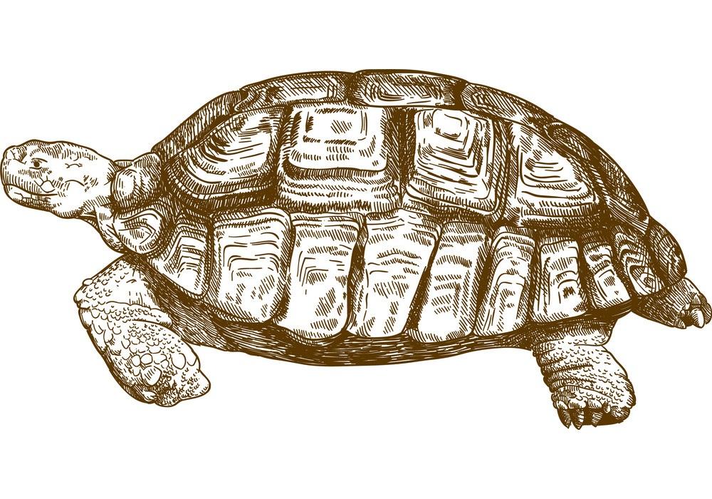 engraving big turtle