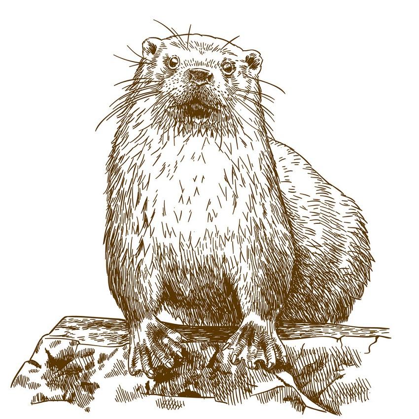 engraving otter 1