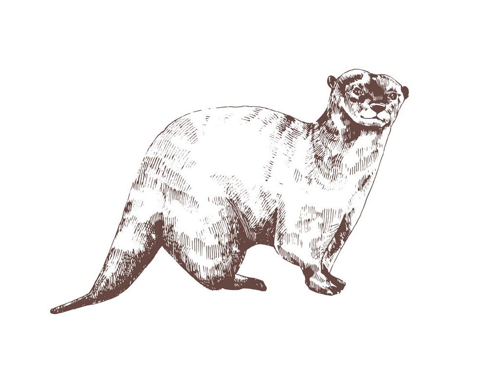 engraving otter