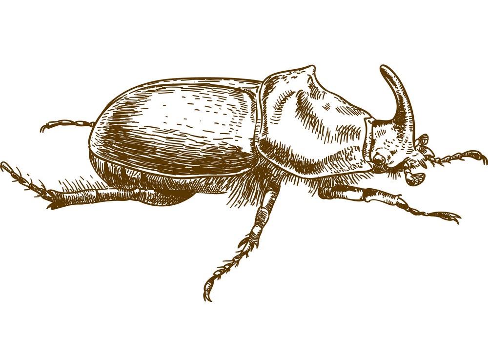 engraving rhinoceros beetle