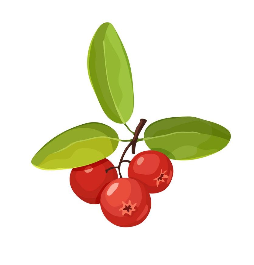 fresh cranberry