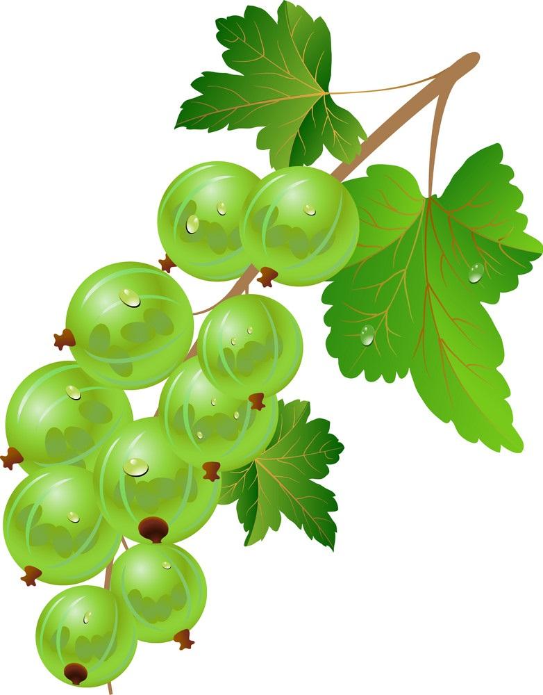 fresh gooseberry branch