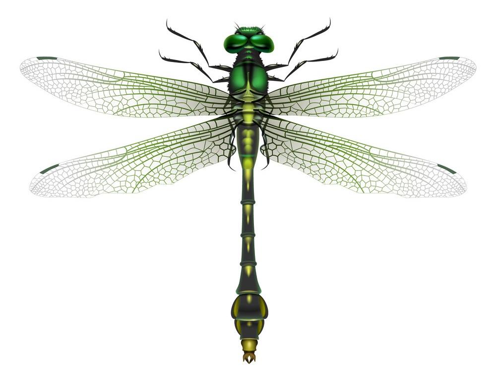 gomphus vulgatissimus dragonfly