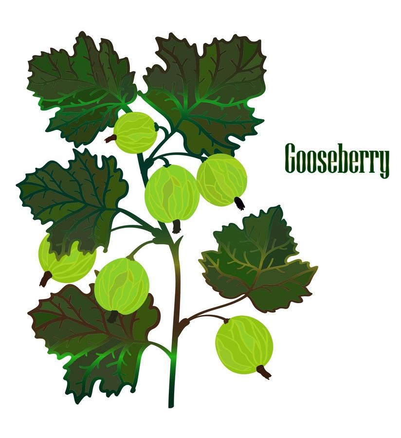 gooseberries branch