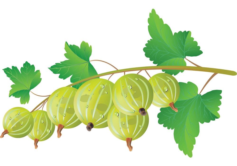 gooseberry branch