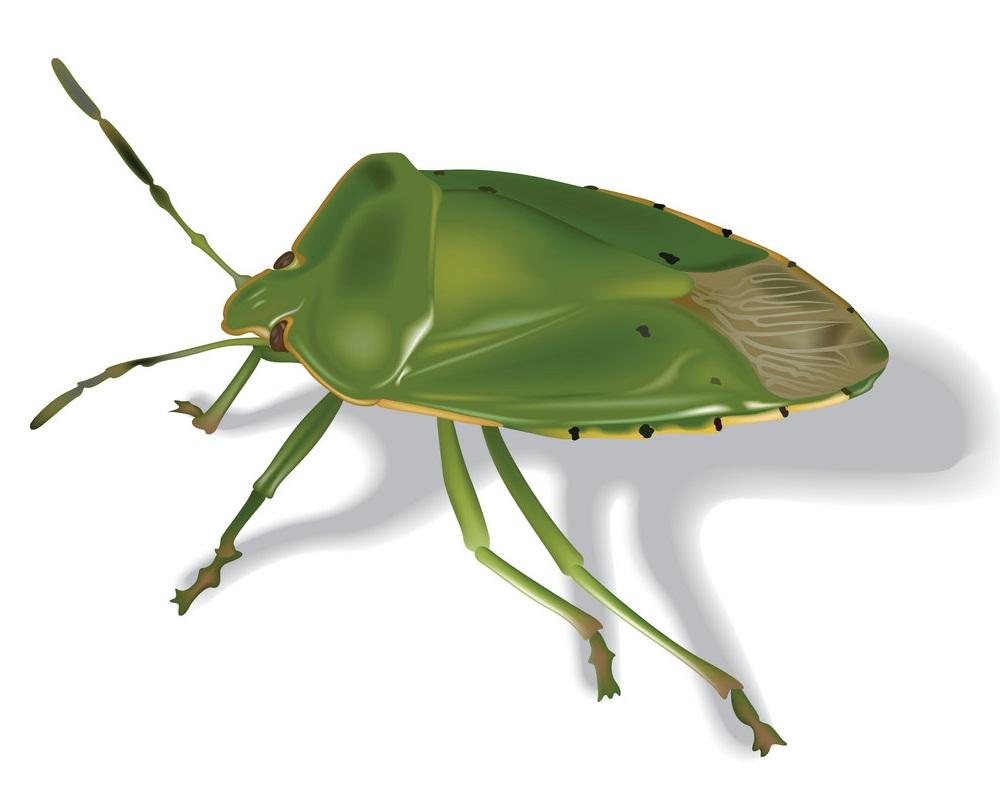 green stink beetle 1