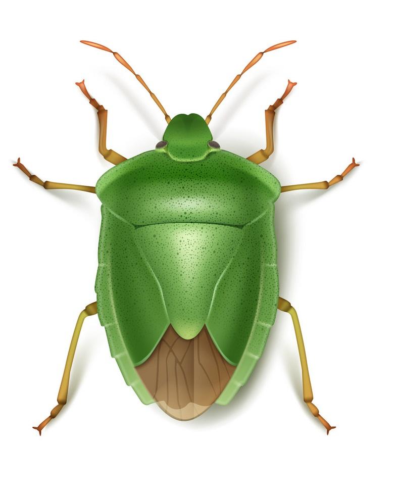 green stink beetle