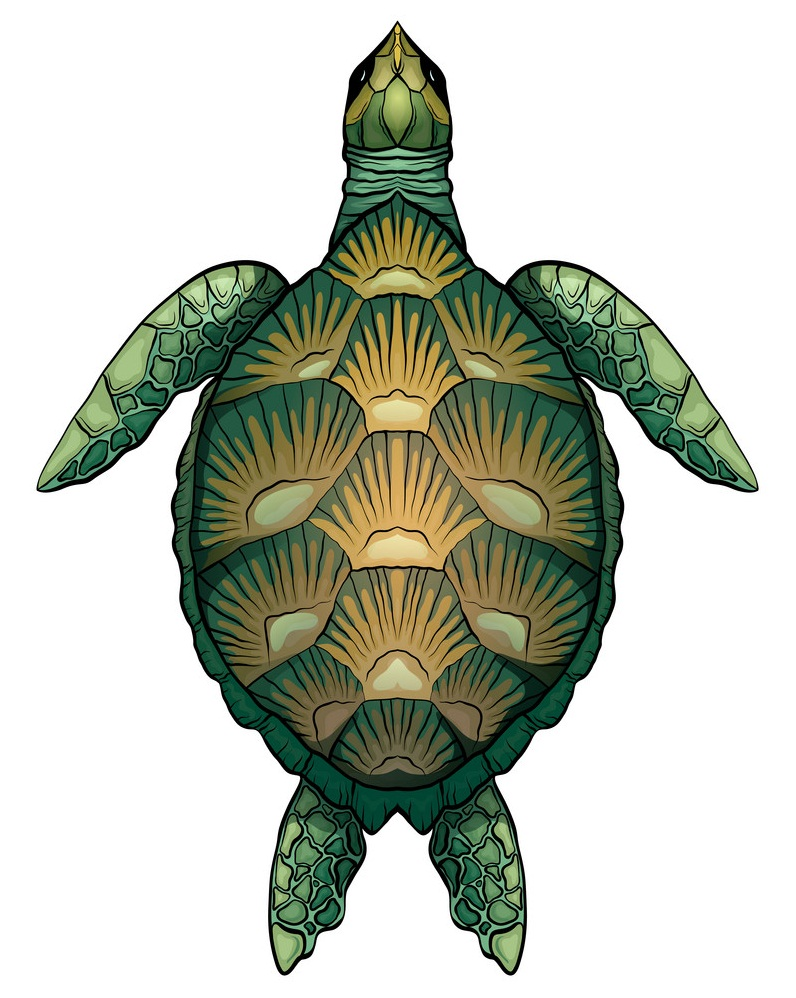 green turtle top view