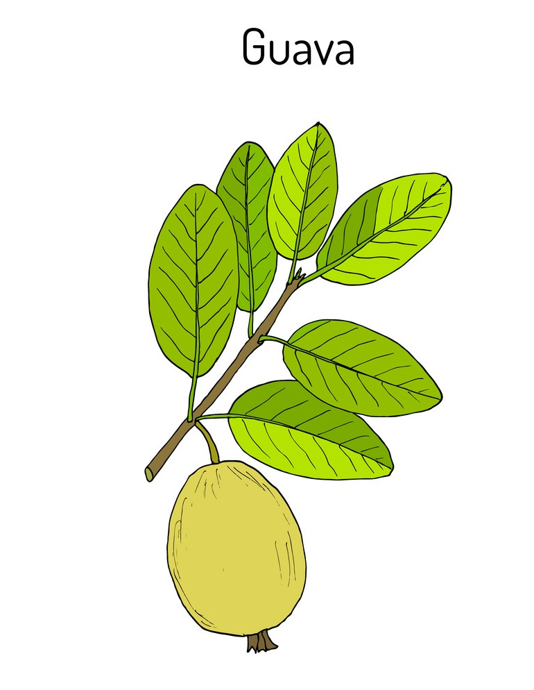 guava on a branch