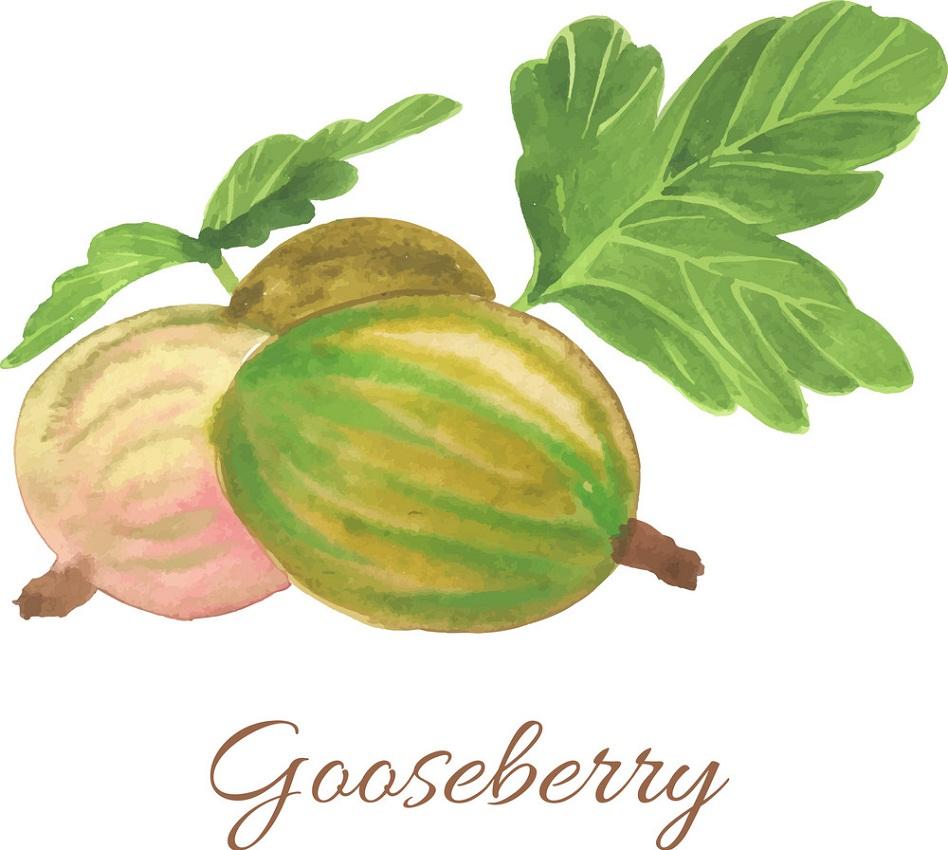 hand drawn gooseberry