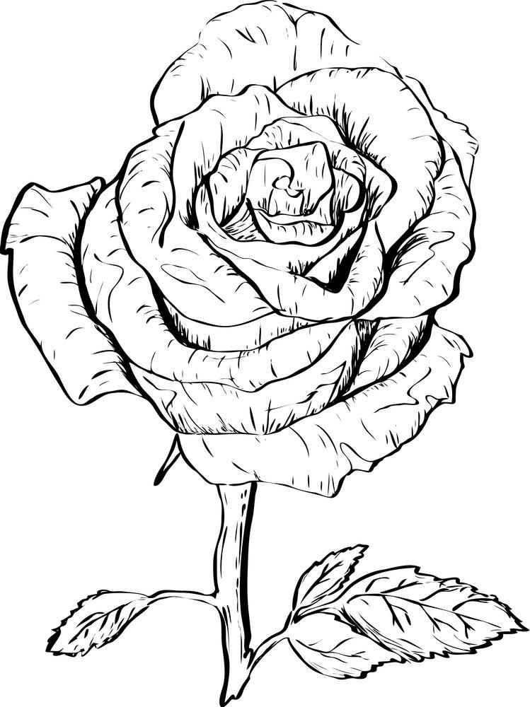 ink rose outline