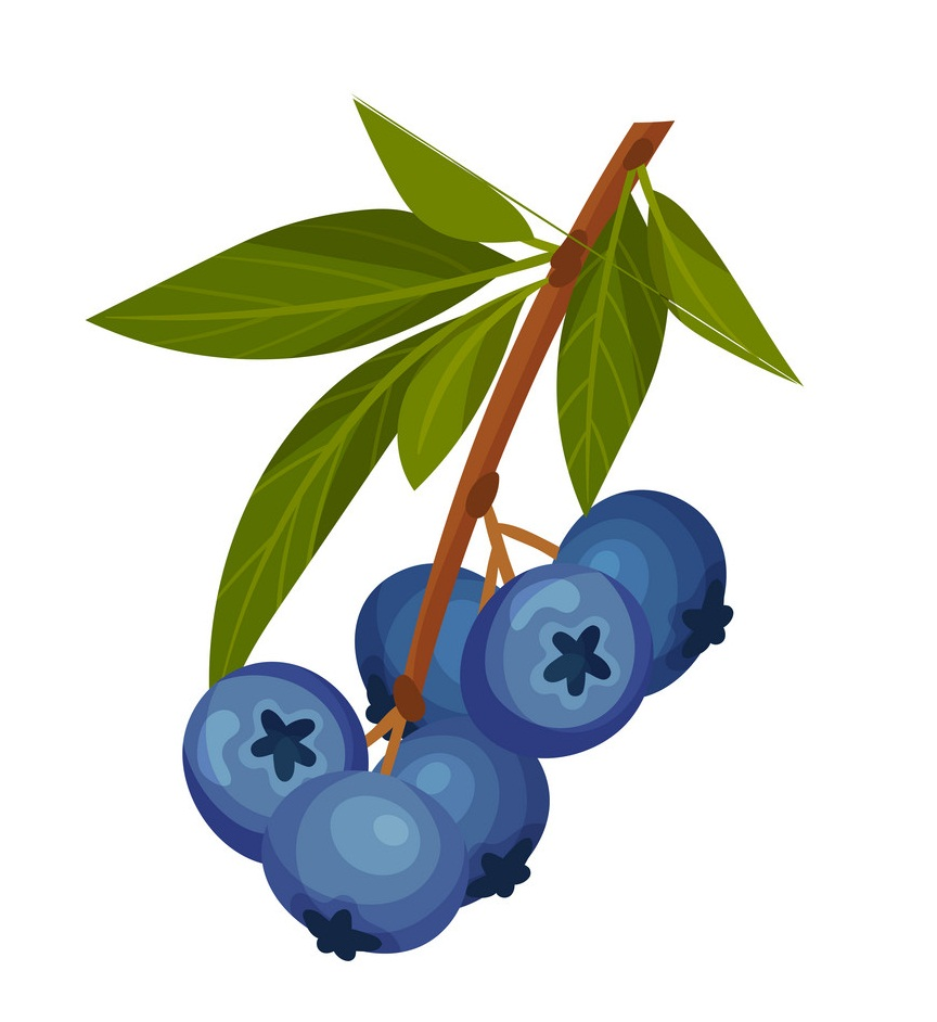 normal blueberry branch