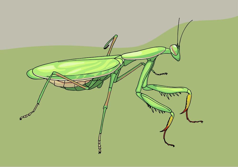 Praying Mantis Clipart