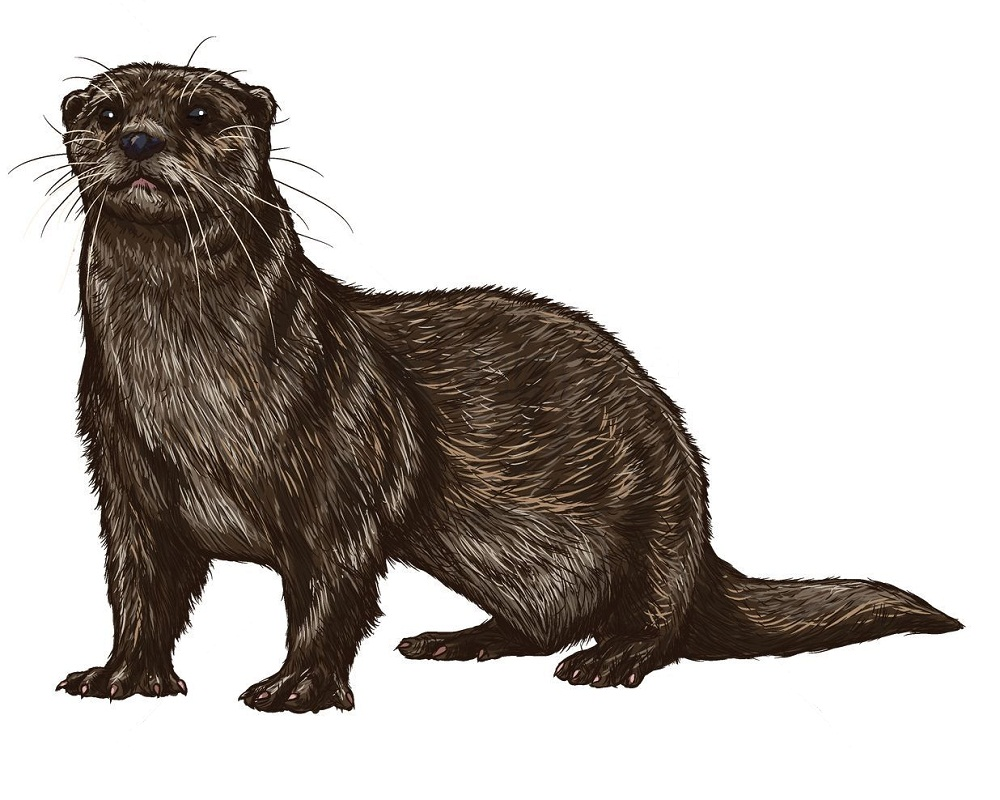 realistic otter