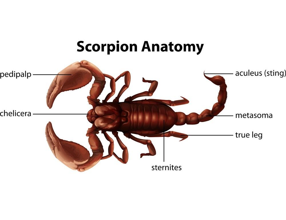 scorpion anatomy