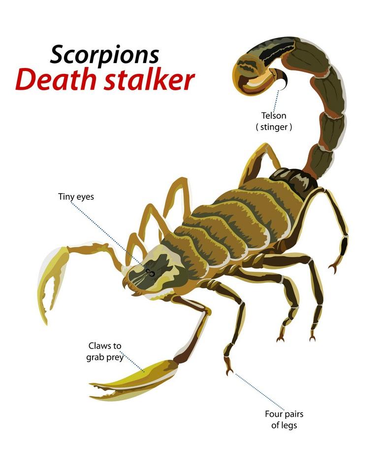 scorpion death stalker