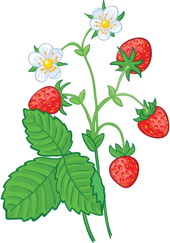 strawberry branch
