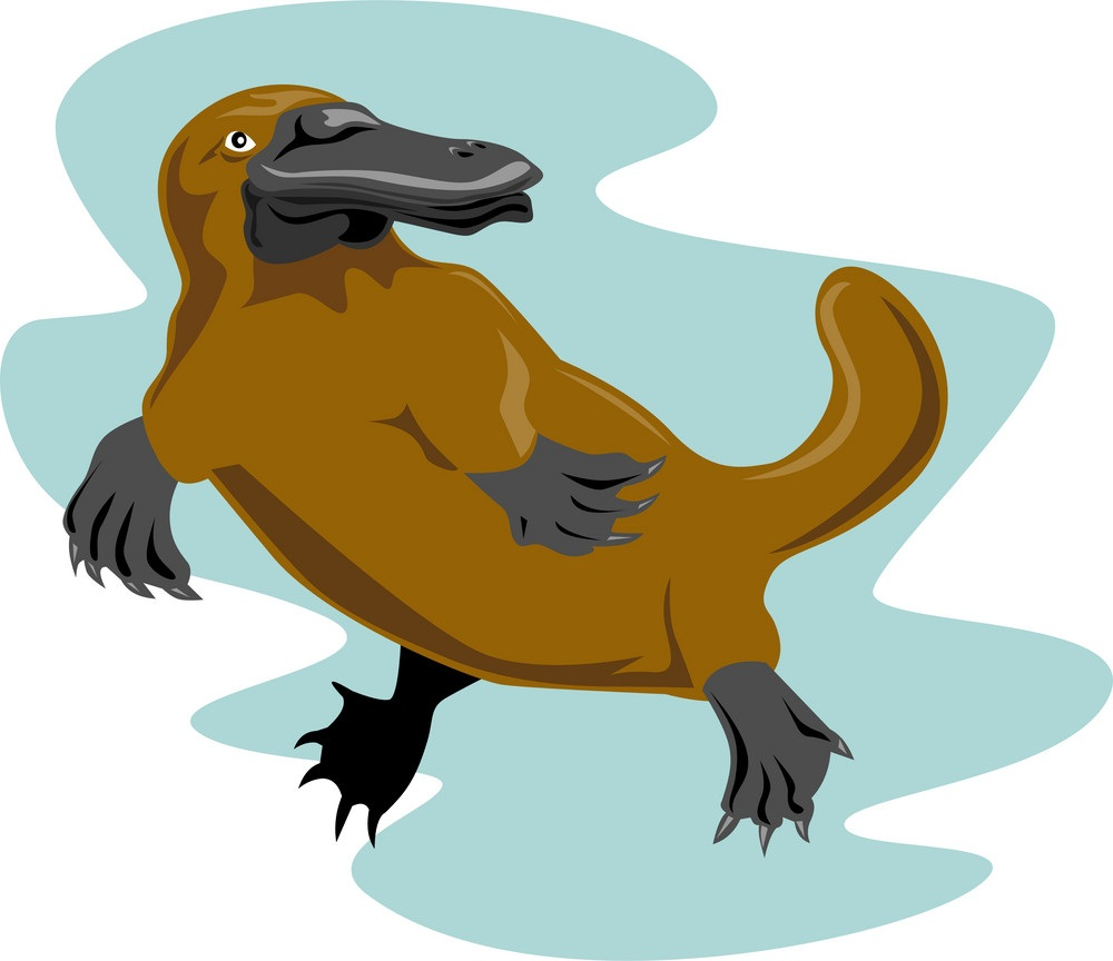 swimming platypus
