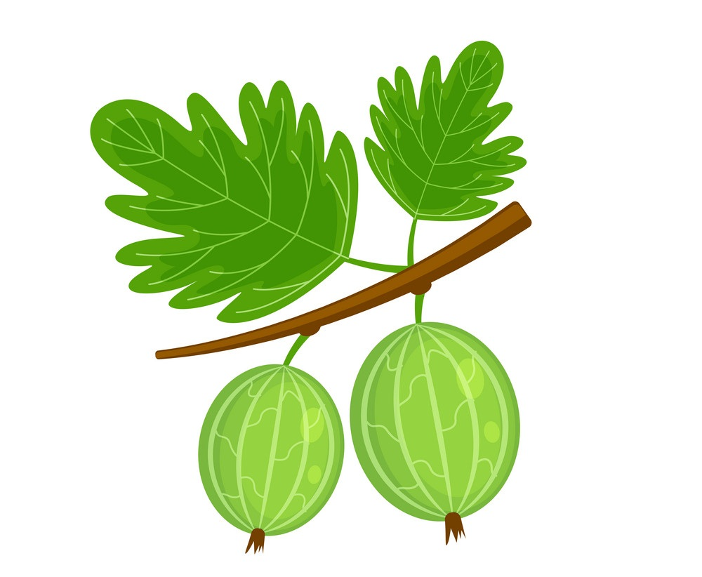 two gooseberries on a branch
