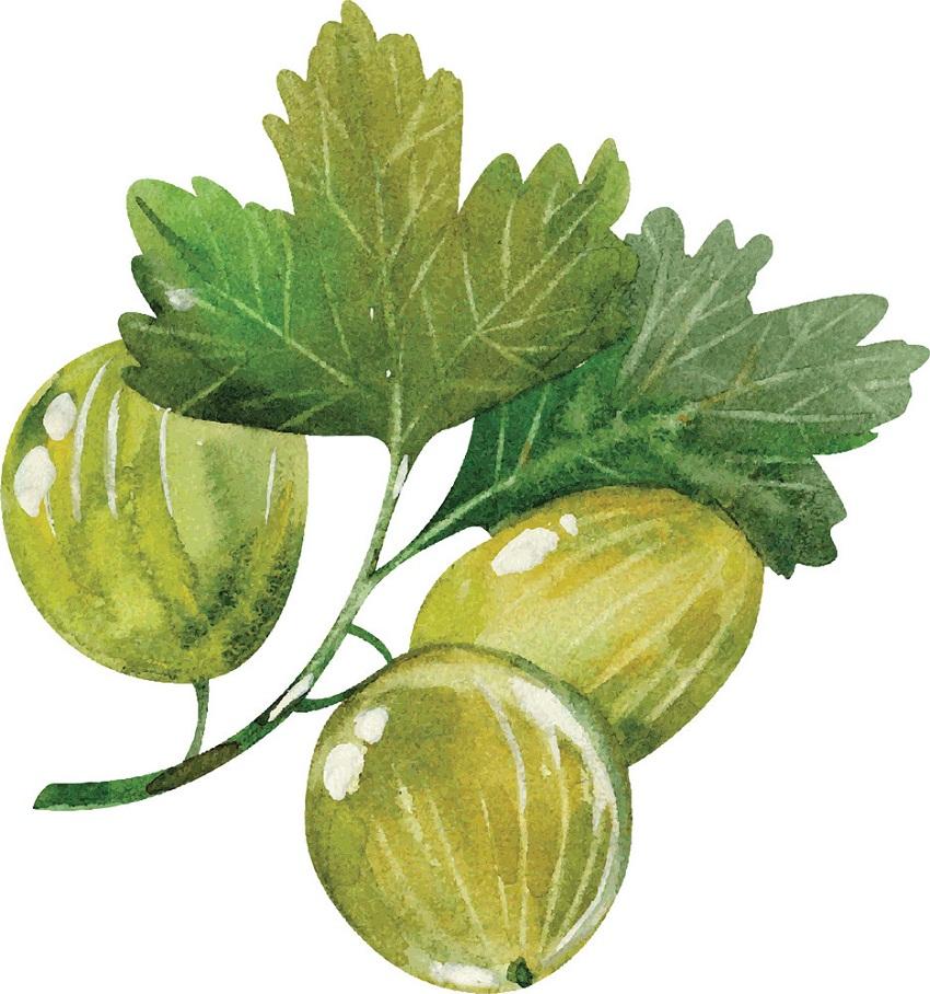 watercolor gooseberries