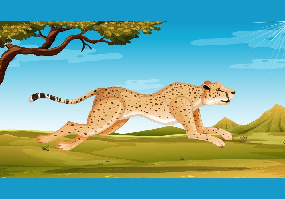 wild cheetah running