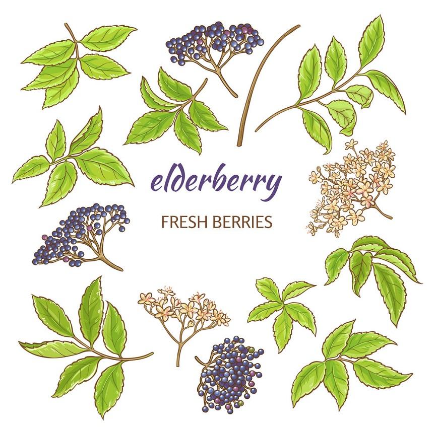 elderberries and leaves