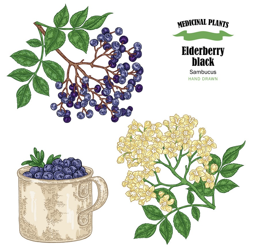elderberry black common names sambucus hand drawn