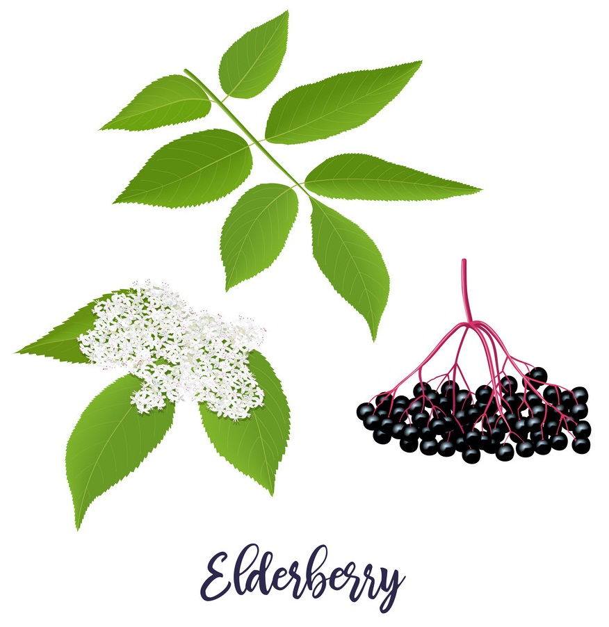 Elderberry Clipart