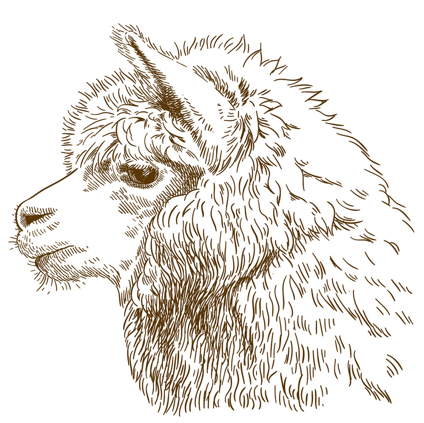 engraving drawing of fluffy llama head png