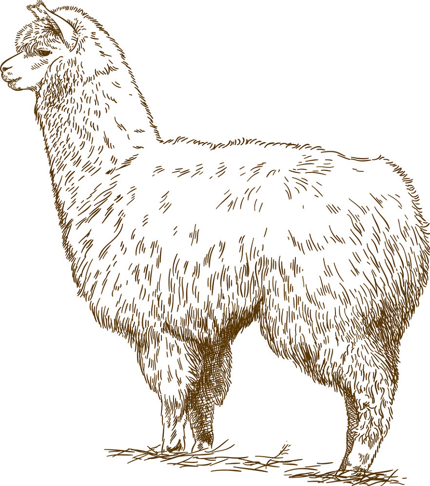 engraving drawing of fluffy llama png
