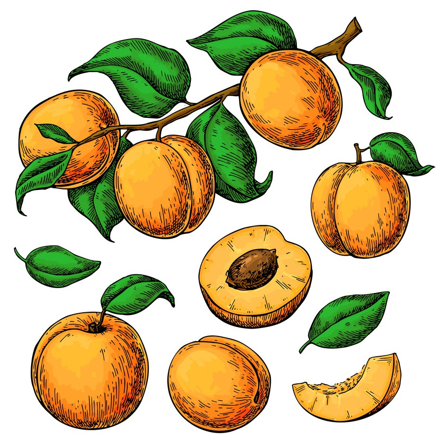 hand drawn apricots