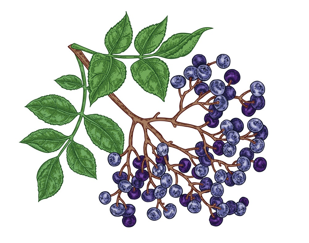 hand drawn elderberry branch