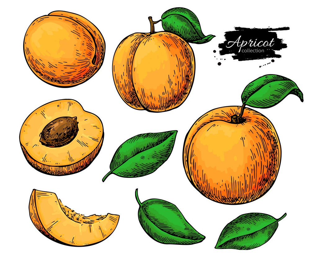 set of apricots drawing