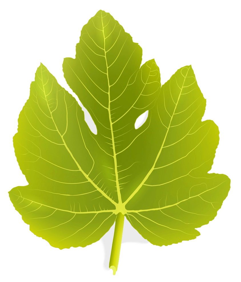 Fig leaf png