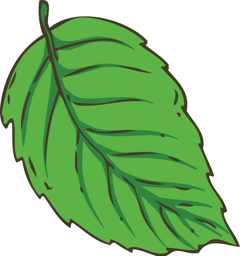 Fresh green mint leaf clipart transparent