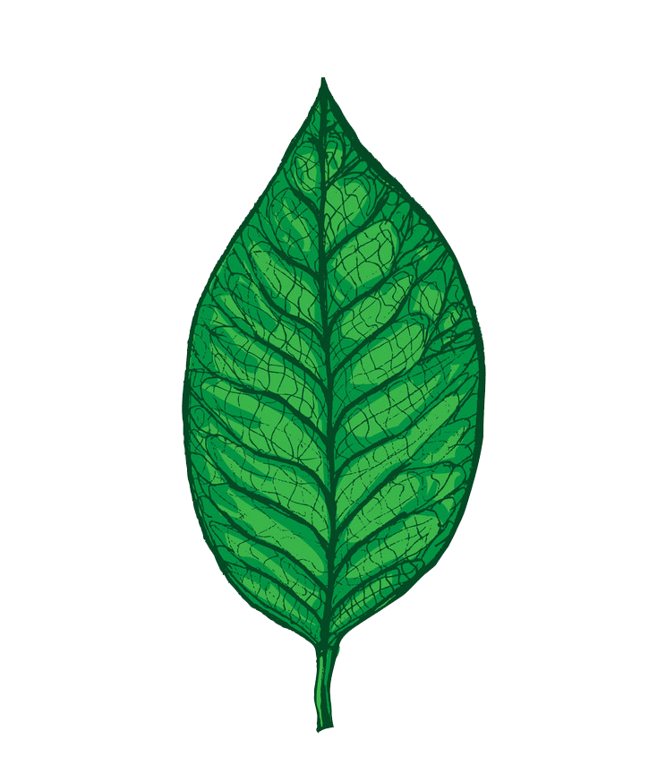 Magnolia leaf clipart transparent