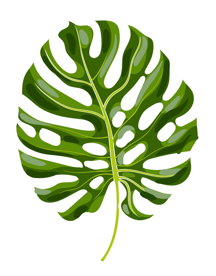 Monstera leaf png