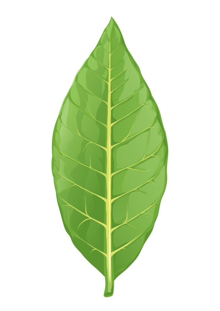 Tobaco leaf clipart