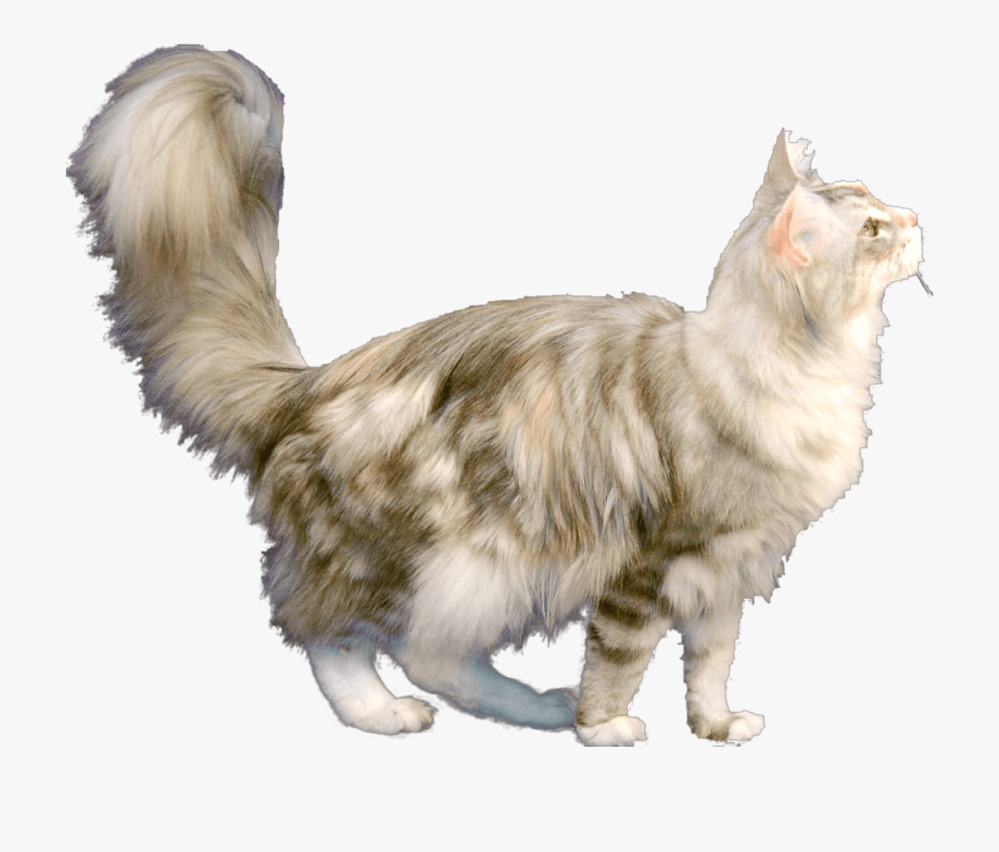 Maine Coon Cat clipart 1